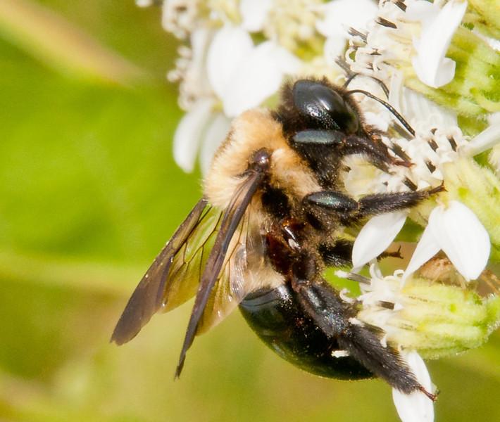 • Cades Cove<br /> • Bumble bee