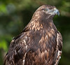 • Grandfather Mountain Animal Habitats which is located in Linville, North Carolina.<br /> • Golden Eagle