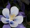 Rocky Mountain Columbine - Aquilegia caerules