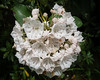 • Flowers I saw in the Newland, NC neighborhood<br /> • Mountain Laurel