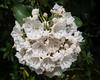 • Flowers I saw in the Newland, NC neighborhood<br /> • Mountain Laurel