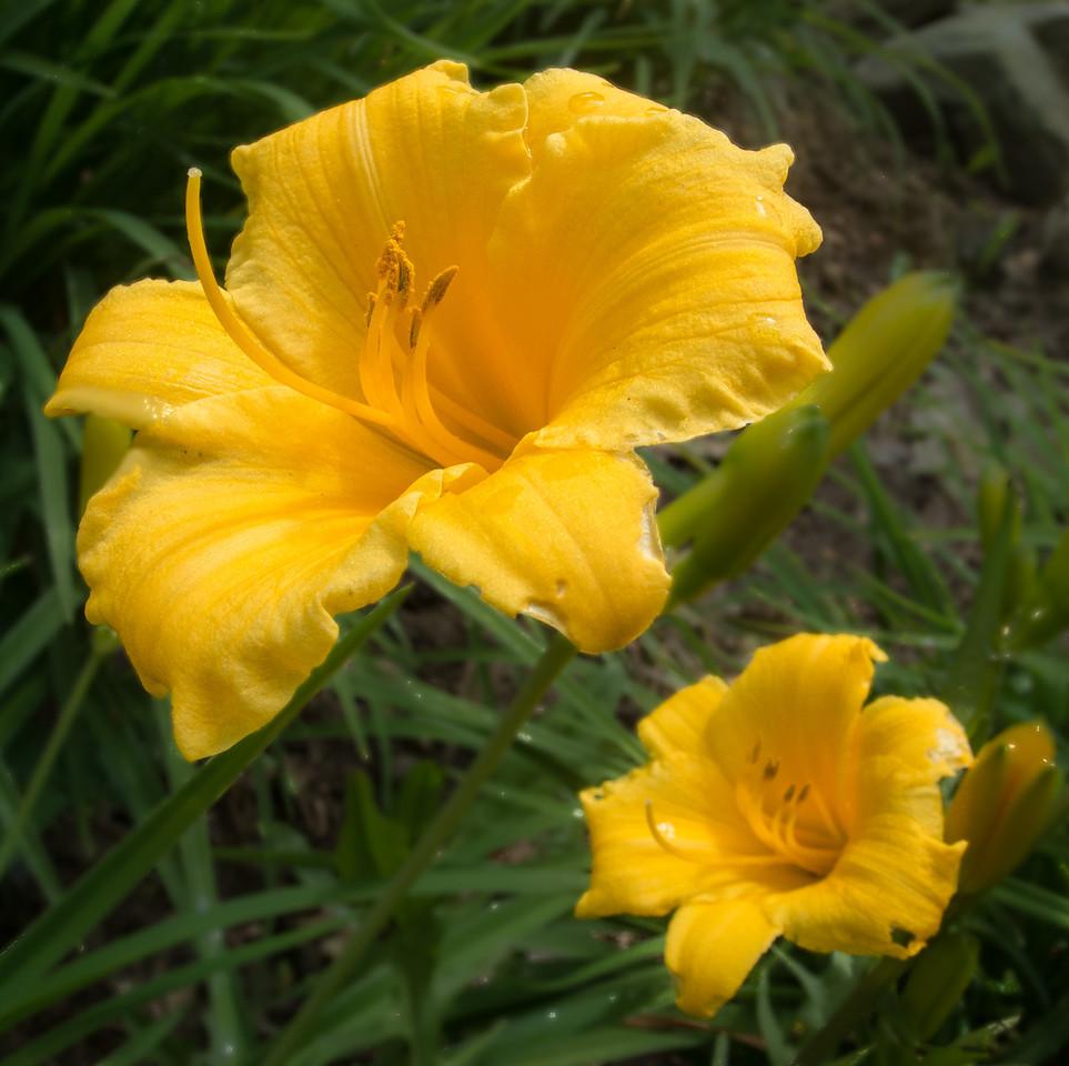• Flowers I saw in the Newland, NC neighborhood<br /> • Day Lilies