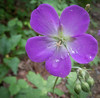 • Flowers I saw in the Newland, NC neighborhood<br /> • Wild Geranium