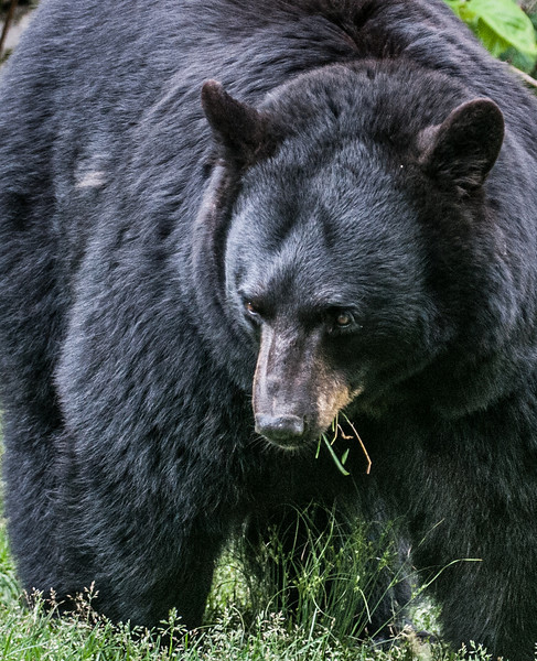 • Grandfather Mountain Animal Habitats which is located in Linville, North Carolina.<br /> • Black Bear