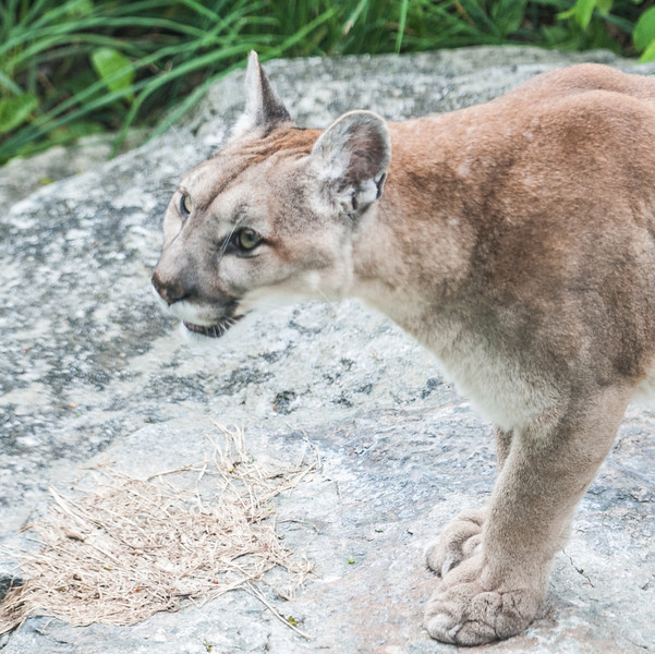 • Grandfather Mountain Animal Habitats which is located in Linville, North Carolina.<br /> • Cougar