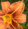 • Flowers I saw in the Newland, NC neighborhood<br /> • Hibisus