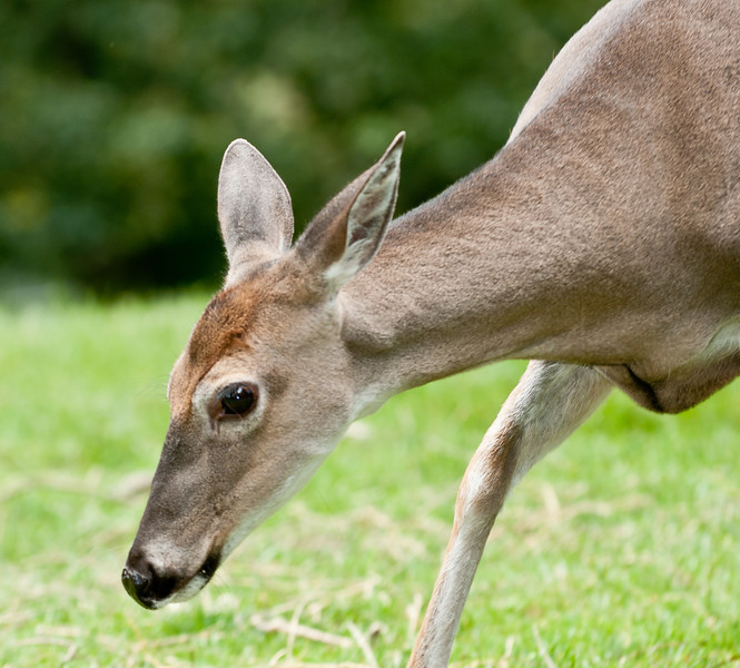 • Grandfather Mountain Animal Habitats which is located in Linville, North Carolina.<br /> • White-tailed Deer Doe