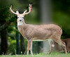 • Grandfather Mountain Animal Habitats which is located in Linville, North Carolina.<br /> • White-tailed Deer Buck