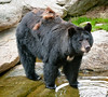 • Grandfather Mountain Animal Habitats which is located in Linville, North Carolina.<br /> • Black Bear with brown shaggy hair