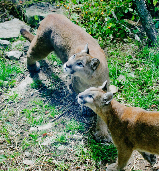 • Grandfather Mountain Animal Habitats which is located in Linville, North Carolina.<br /> • A pair of Cougars