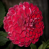 Red‑dahlia‑flower