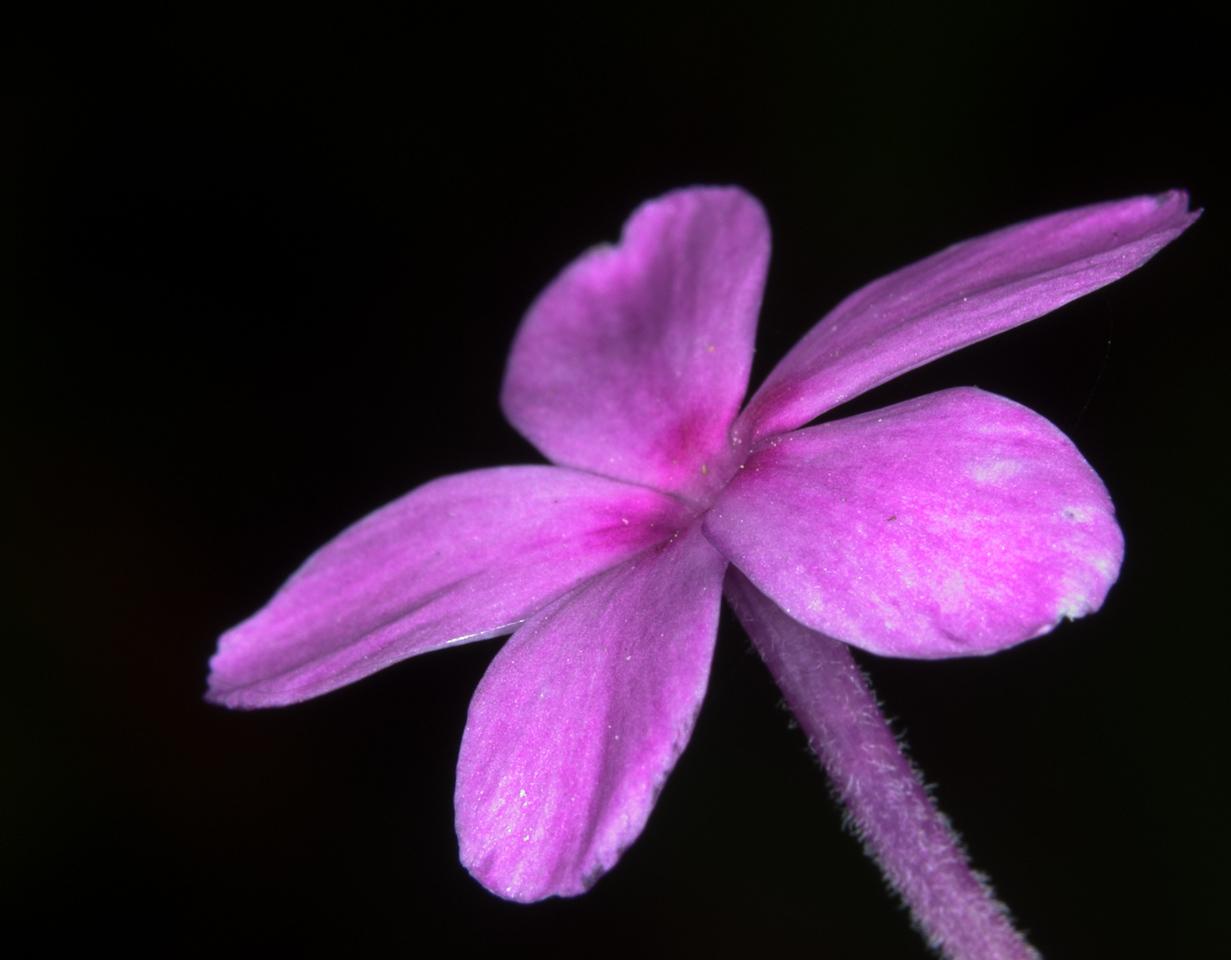 Phlox stolonifera 'Sherwood Purple