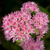 Beautiful red Orpine (Hylotelephium telephium)