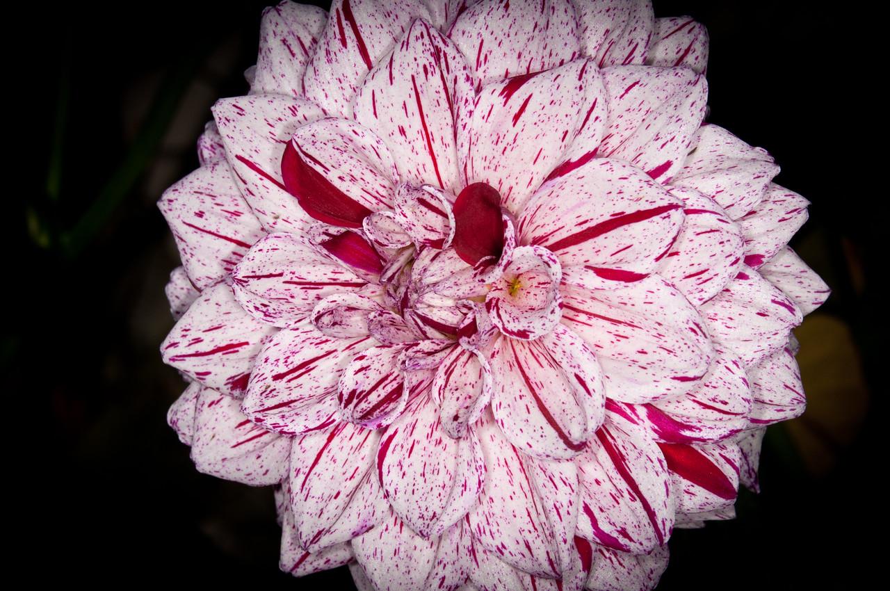Dahlia - Connecticut Dancer Flower