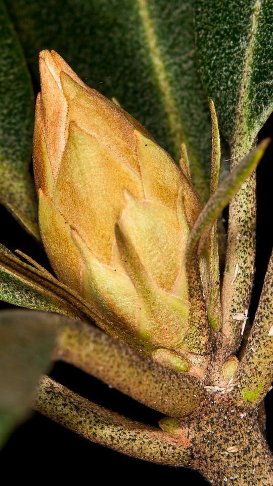 Rhodanthemum Pod