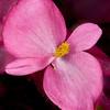 Begonia pink flower