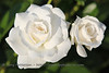 """White Roses""<br /> Chapel Hill, NC"