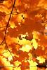 """""""Maple Gold""""<br /> Old Salem, NC"""