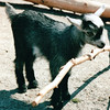 Baby Goat - Western North Carolina Nature Center, Asheville, NC  4-10-04