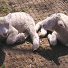 Lambs at Nature Center in Asheville, NC