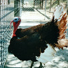 Huge Male Turkey - Western North Carolina Nature Center, Asheville, NC  4-10-04