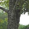 Unusual Tree Bark - Bennett Place Historic Site - Durham, NC