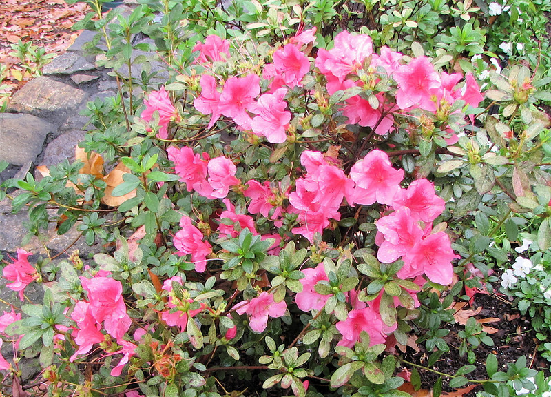 Is This An Azalea in Bloom in November - Billy Graham Library - Charlotte, NC  11-26-10<br /> This bush was beside Ruth Graham's grave.