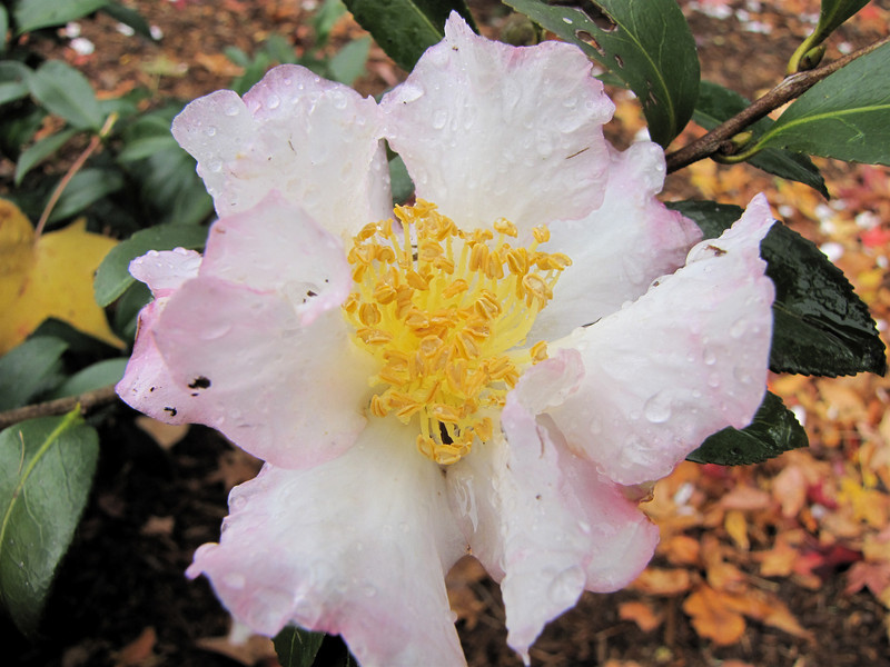 Camellia On the Garden Walk - Billy Graham Library - Charlotte, NC  11-26-10
