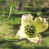 Dogwood - The Botanical Gardens at Asheville, NC  4-9-09