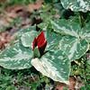 Trillium - Botanical Gardens, Asheville, NC  4-10-04
