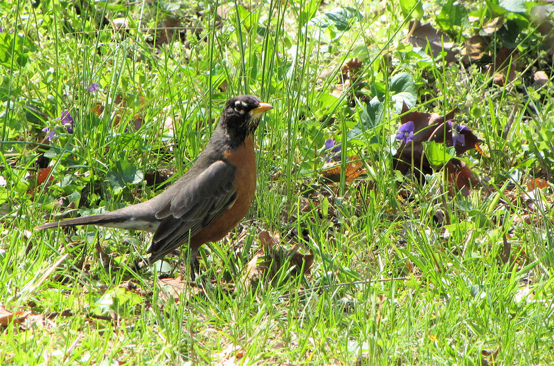 American Robin - The Botanical Gardens at Asheville, NC  4-9-09