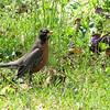 American Robin - The Botanical Gardens at Asheville, NC  4-9-09