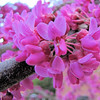 Redbud Blooms - Centennial Campus Center for Wildlife Education - Raleigh, NC  3-24-11