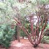 Unusual Shaped Asian Pine Tree - Daniel Stowe Botanical Garden - Belmont, NC  5-12-12