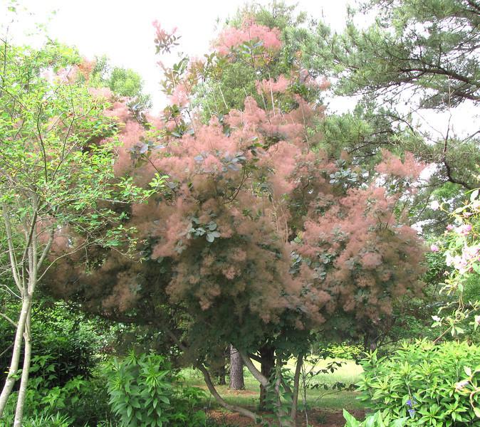 Randal Liked the Smoke Tree - Daniel Stowe Botanical Garden - Belmont, NC  5-12-12