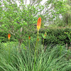Closeup of Giant Red Hot Pokers aka Torch Lily - Daniel Stowe Botanical Garden - Belmont, NC  5-12-12