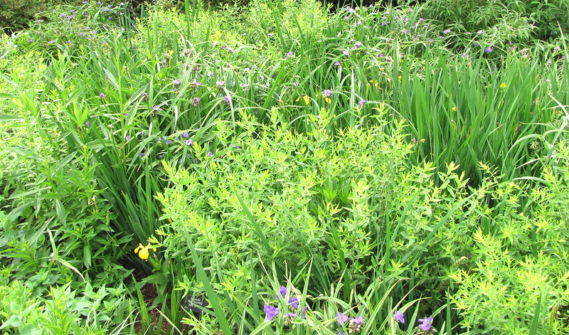 Yellow Irises and Purple Spiderwort - Daniel Stowe Botanical Garden - Belmont, NC  5-12-12