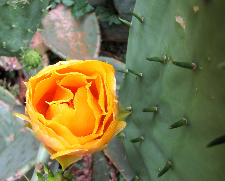 Prickly Pear - What a Contrast Between Bloom and Thorns - Daniel Stowe Botanical Garden - Belmont, NC  5-12-12