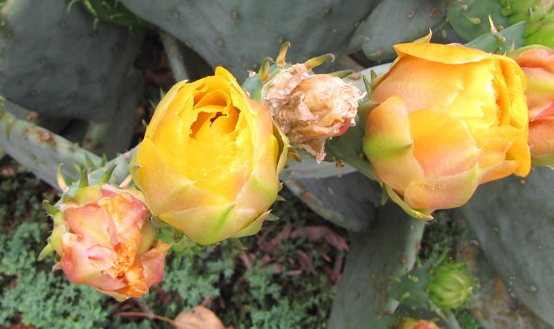 Prickly Pear Catus Closeup of Blooms - Daniel Stowe Botanical Garden - Belmont, NC  5-12-12