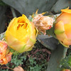 Prickly Pear Catus Closeup of Blooms - Daniel Stowe Botanical Garden - Belmont, NC  5-12-12