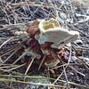 Looking At The Underside of Mushroom-Fungi - Sarah P. Duke Gardens - Durham, NC<br /> Amazing how it's grown right around and through the pine straw.  In Doris Duke Gardens area.