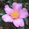 Sasanqua Camellia - Maiden's Blush
