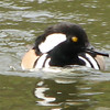 Male Hooded Mergenser