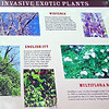 Invasive Exotic Plants at Piper-Cox House - Eno River State Park - Durham, NC<br /> As people migrate to new areas, they often bring their plants with them.  An invasive exotic plant is a species that is growing outside of its native range and disrupting the natural plant community.  They spread aggressively and lack control by predators or diseases.  These 3 species were most likely planted for their ornamental value by inhabitants of the Piper-Cox House.  They are now throughout this state park crowding out native plants that feed native wildlife.