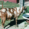 Pregnant Goat - Carl Sandburg's Home - Flat Rock, NC  4-9-04