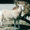 Goat - Carl Sandburg's Home - Flat Rock, NC  4-9-04