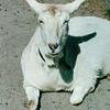 Posing Goat - Carl Sandburg's Home - Flat Rock, NC  4-9-04