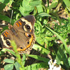 Common Buckeye Butterfly At Roadside Stop - Fontana Lake in the Smoky Mountains, NC