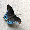 Red-spotted Purple Butterfly (Limenitis arthemis) - Fontana Village Resort in Smoky Mountains, Fontana Dam, NC