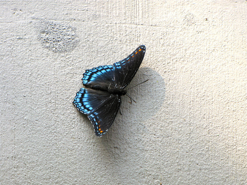 Red-spotted Purple Butterfly (Limenitis arthemis) on Our Balcony Two Hours After Checking In - Fontana Village Resort in Smoky Mountains, Fontana Dam,